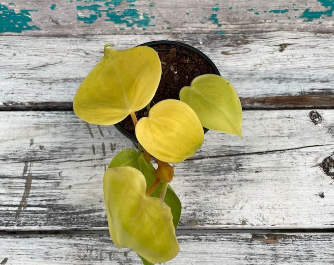 """Lemon Lime Philodendron, 4"""" pot"""