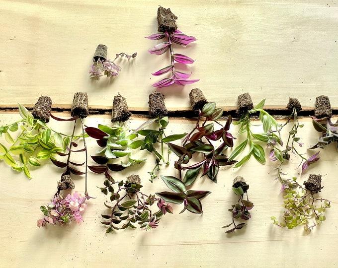 Premier Succulents Mystery Tradescantia Box -  Grower's Choice set