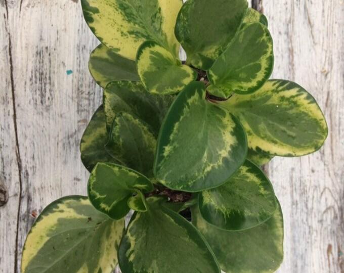 """Variegated peperomia obtusifolia - 4"""" pot"""