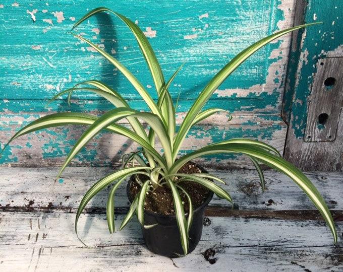 """Variegated Spider Plant - 4"""" pot"""
