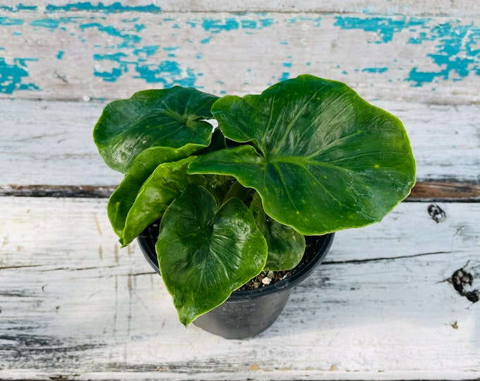 """Philodendron Atom - 4"""" pot"""