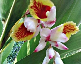 Shell ginger (Alpinia zerumbet) rhizome