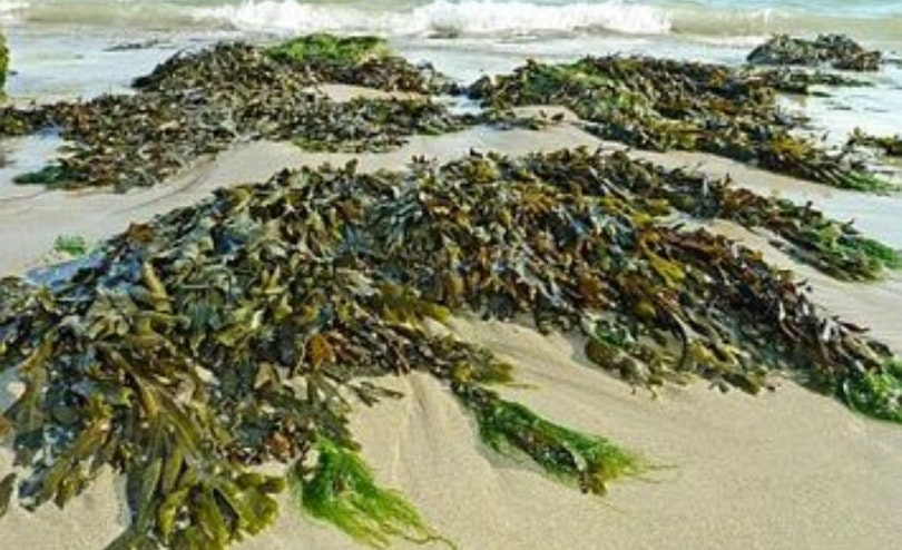 Fresh Organic Seaweed 500g  Harvested and posted the same day
