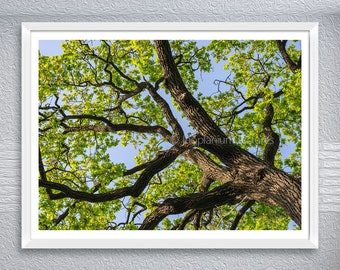Wide Color Photography Of Massive Oak Tree