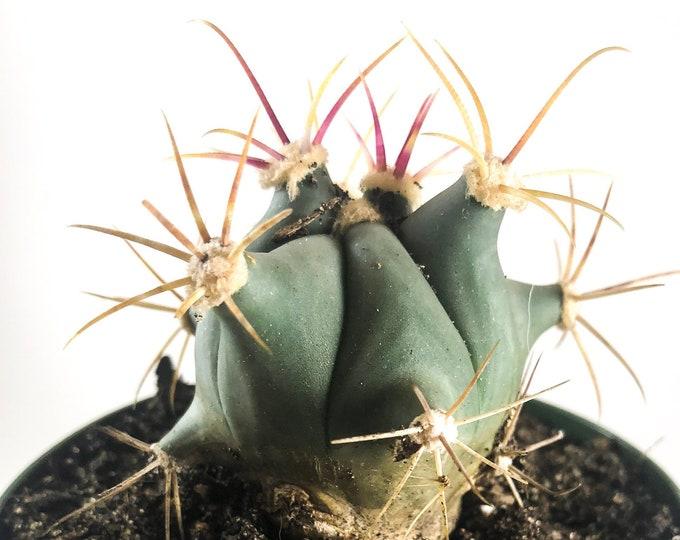 Ferocactus Emoryi Blue Barrel Cactus