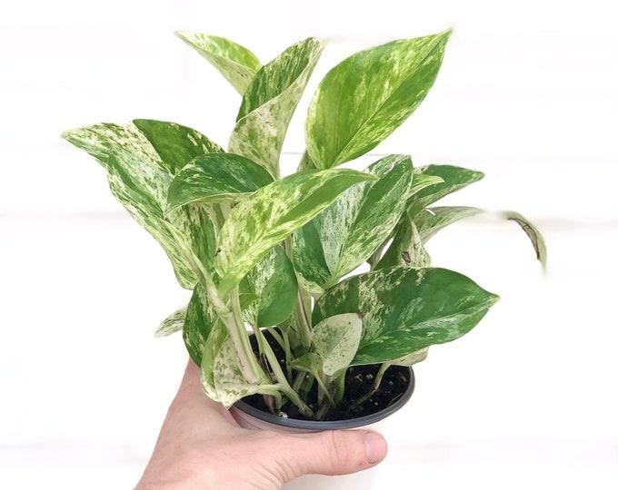Marble Queen Pothos House Plant - Epipremnum Aureum, devils ivy,  live indoor plants, low light, easy care, hanging plants