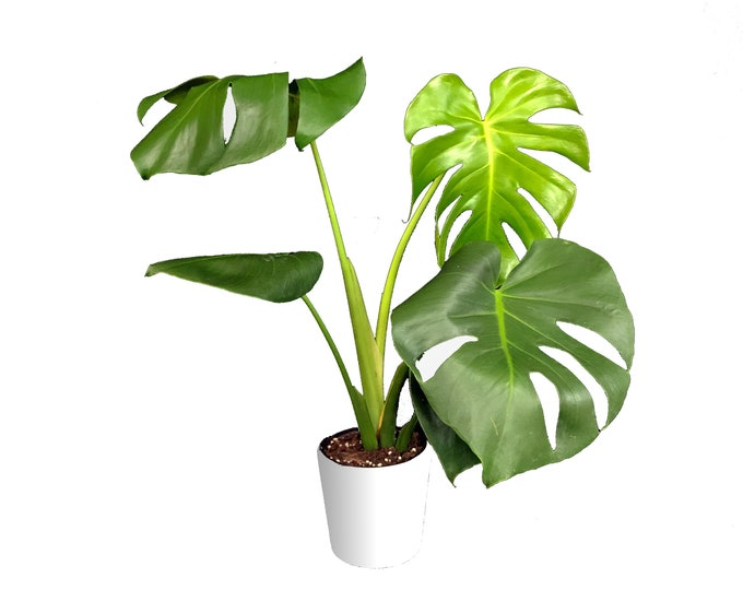 Monstera Deliciosa Large Houseplant - Swiss Cheese Plant, Split Leaf Philodendron