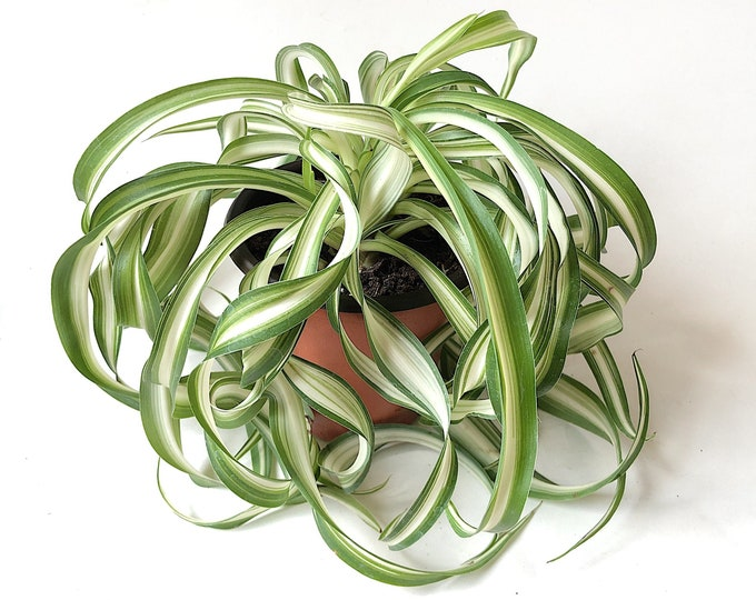 Curly Spider Plant Bonnie