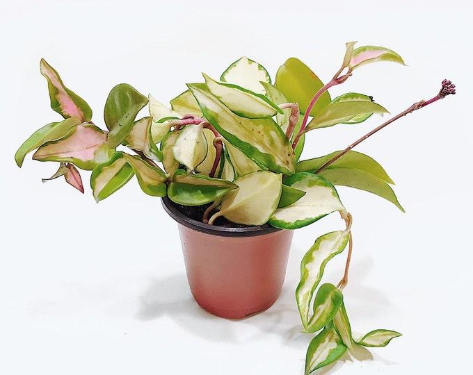 Hoya Krimson Princess - Hoya Carnosa Rubra House Plant Cuttings