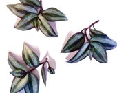 Wandering Jew - live plants, plant cuttings, indoor plants variegated silver and purple leaves, tropical plants FREE CARE GUIDE
