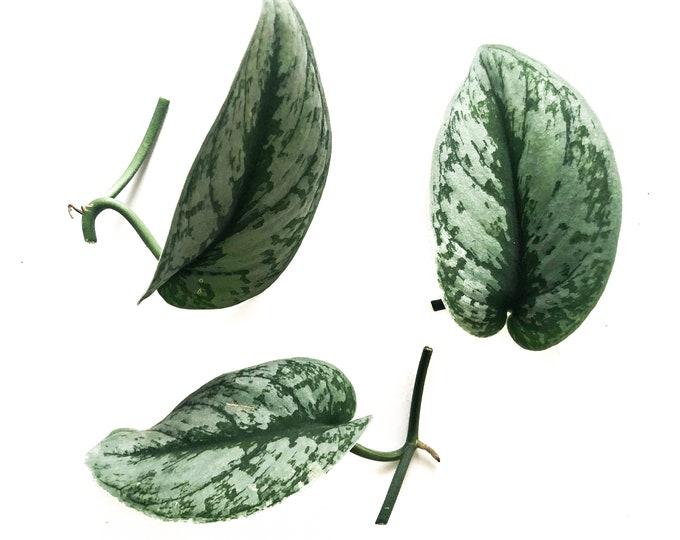 Silver Pothos house plant CUTTINGS- Satin Pothos, Silk Pothos, Silver Philodendron Argyraeus, devils ivy vine