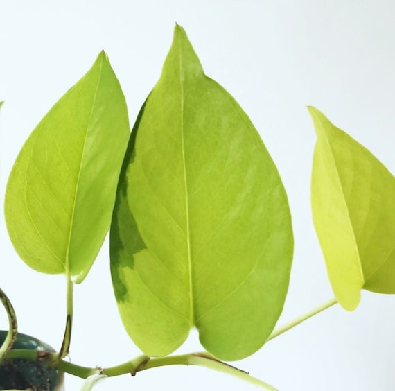 Neon Pothos Plant Cuttings **FREE CARE GUIDE** air purifying tropical on tropical plant identification guide, plant watering guide, perennial plant identification guide, aquatic plant guide, north american edible plant guide, florida tropical plant guide, indoor plant identification guide, tropical flower guide,