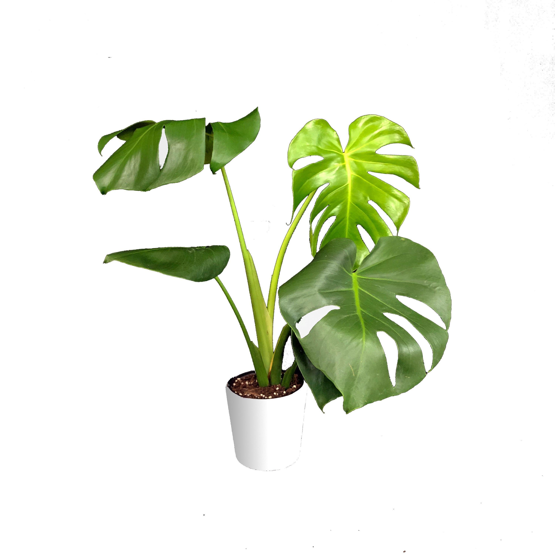 Monstera Deliciosa Large Houseplant - Swiss Cheese Plant ... on philodendron houseplant, avocado houseplant, flacourtia indica, ficus houseplant, nephthytis houseplant, coccoloba uvifera, hovenia dulcis, dovyalis caffra, marsdenia australis, syzygium fibrosum, colocasia esculenta, pleiogynium timorense, xanthosoma sagittifolium, lemon drop mangosteen, myrica rubra, monstera epipremnoides, pothos houseplant, dieffenbachia houseplant, codiaeum variegatum, sansevieria trifasciata,