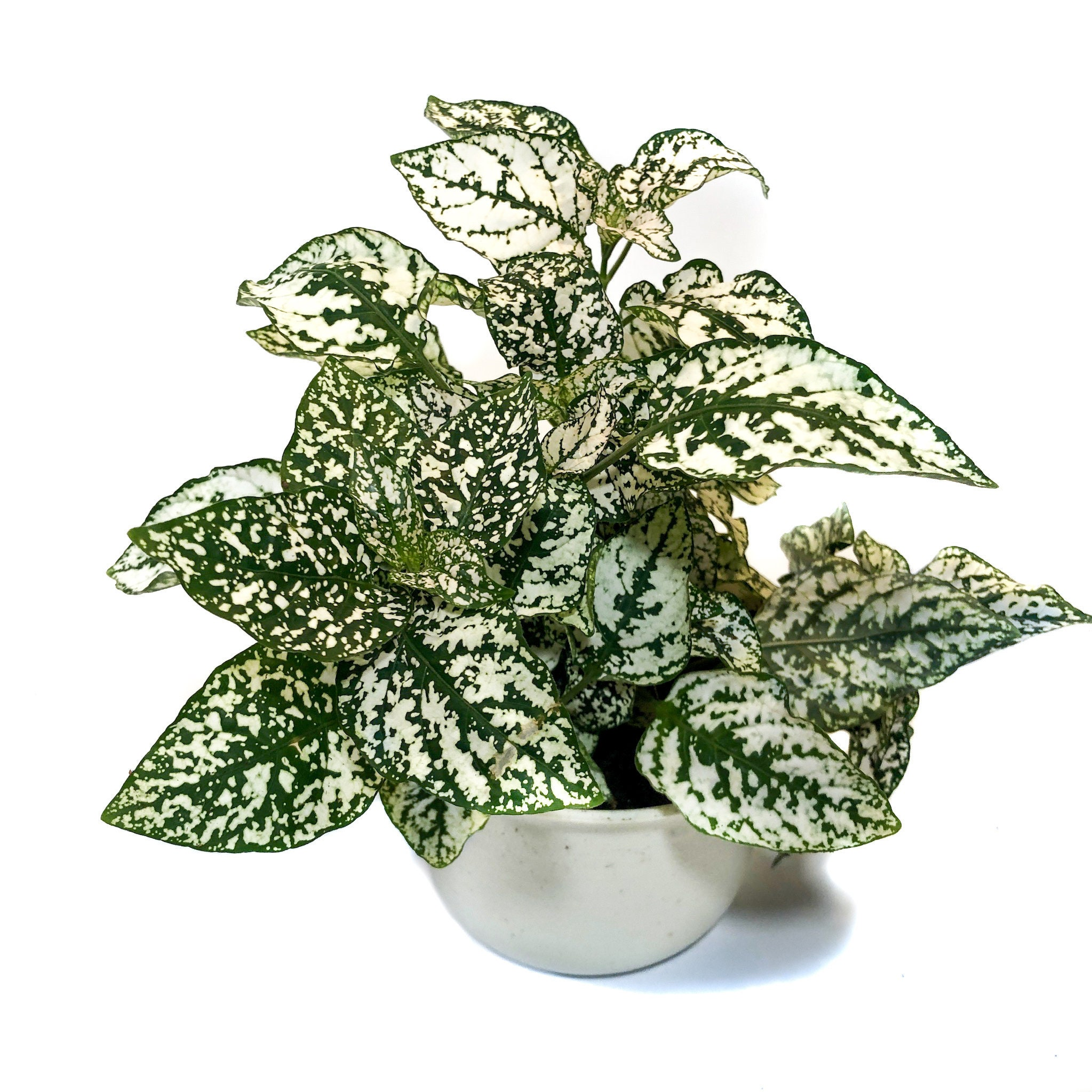 "Picture of Live White Polka Dot aka Hypoestes phyllostachya Plant Fit 4"" Pot"