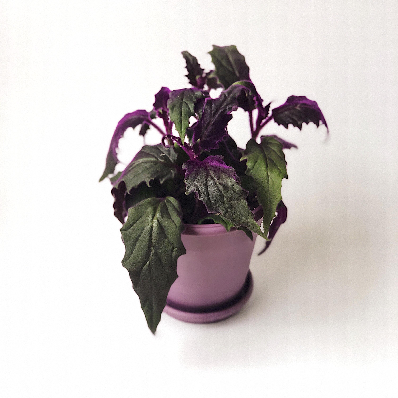 Цветок Гинура плетеносная: уход в домашних условиях фото