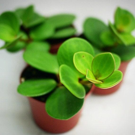 Peperomia Rotundifolia Hope Etsy