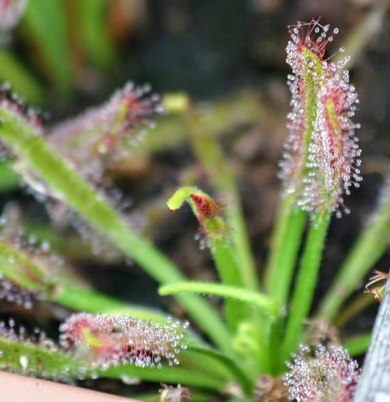 Drosera capensis alba easy to grow carnivorous living plant