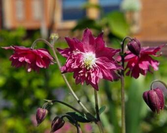 RHS AQUILEGIA Yellow Queen Ladies Bonnet Seeds