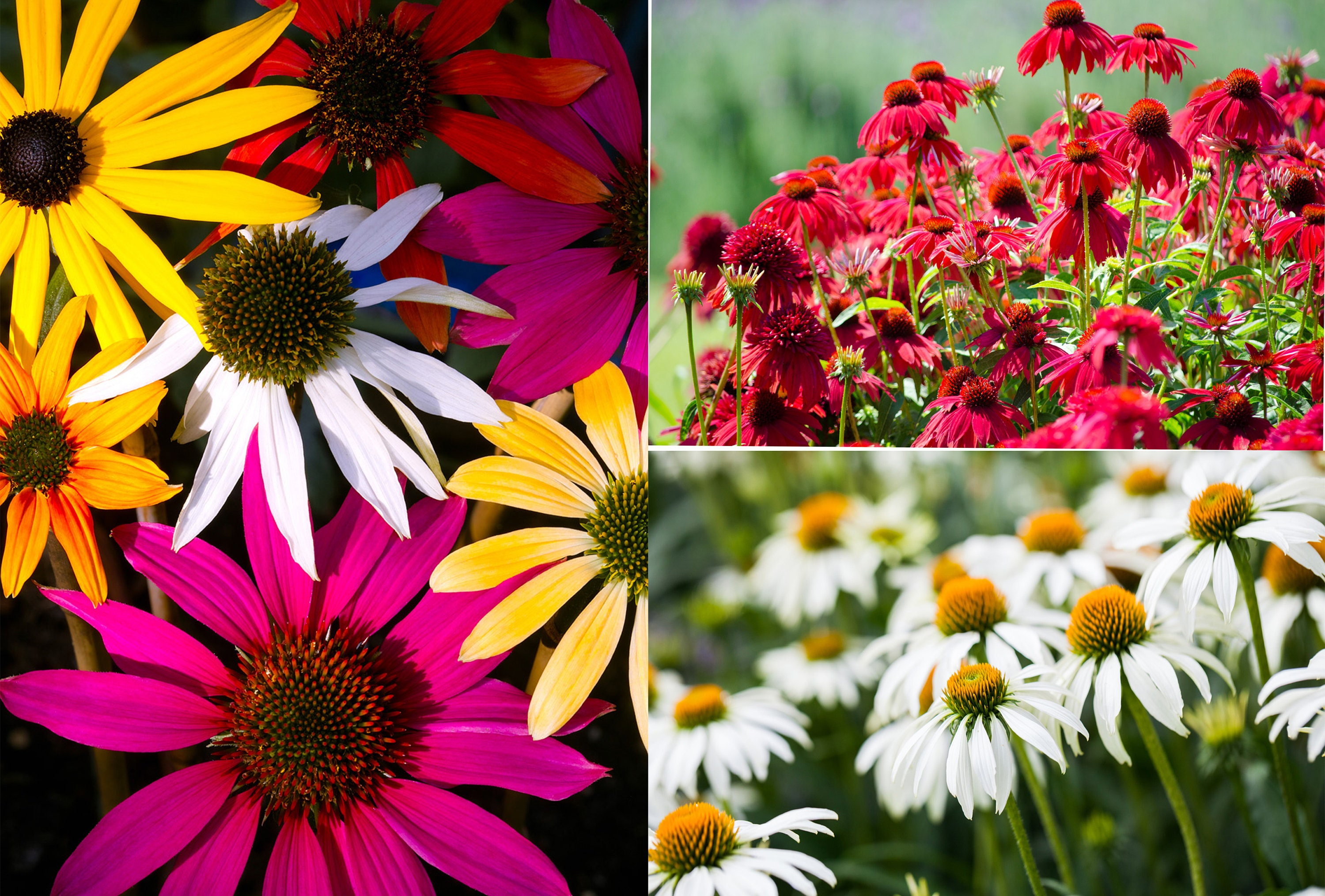 Rudbeckia Echinacea Mixed Colour And Varities 70 Seeds Etsy