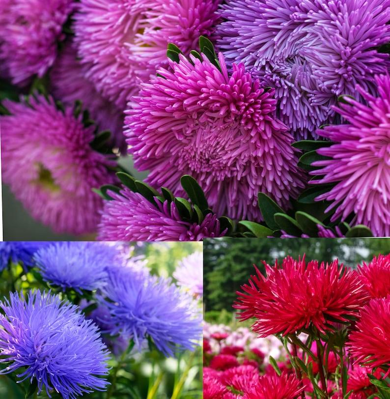 100 Aster Seeds Pompon Light Blue FLOWER SEEDS