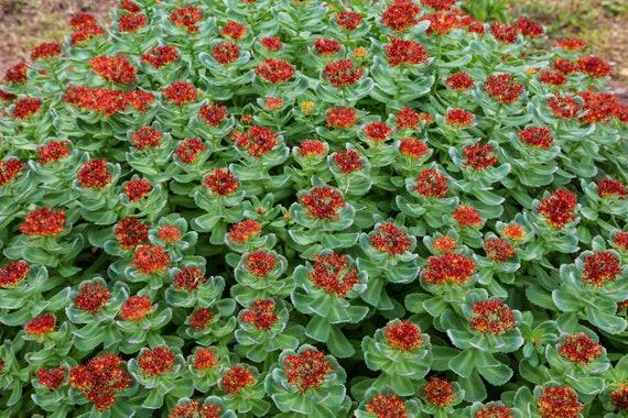 Rare Rhodiola rhodantha Perennial Flower 10 seeds UK SELLER