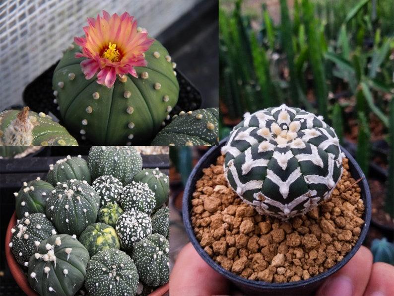 "Succulents 10+ Seeds Astrophytum /""myriostigma/"" Cactus 2018"