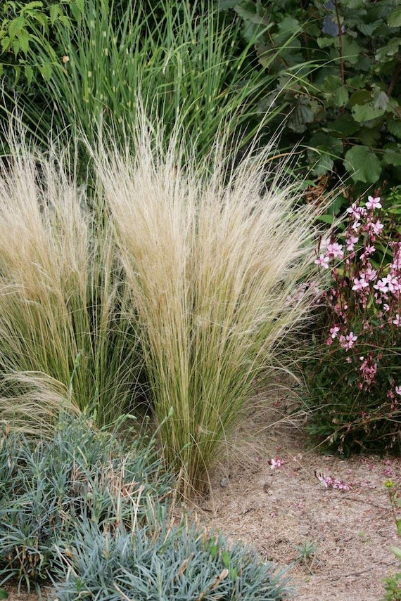 Stipa Tenuissima Ornamental Pony Grass MEXICAN FEATHER GRASS125+ seeds