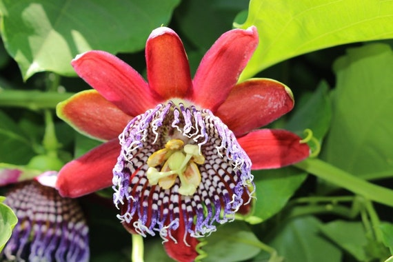 Passiflora laurifolia PASSIONFLOWER Exotic SEEDS!