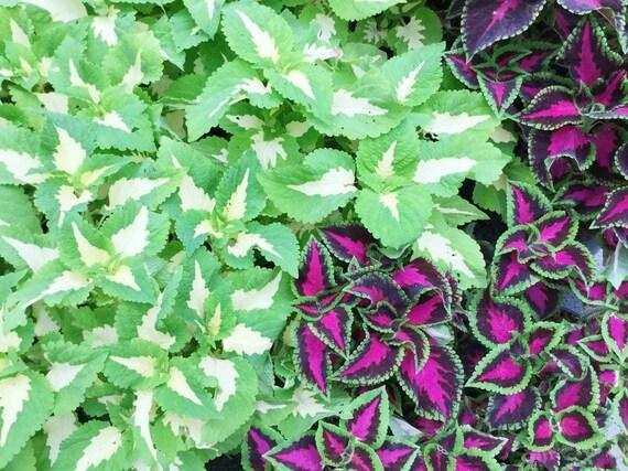 Wizard Mosaic Coleus 35 Seeds