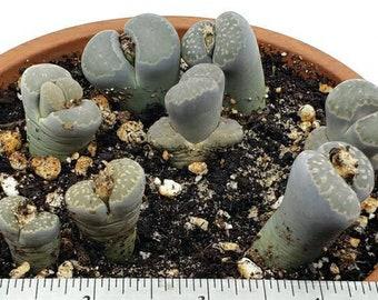 LIVE PLANT: Lithops salicola, Living Stone, Split Rock, Succulent, Mimicry Plants
