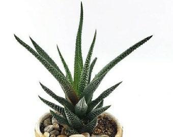 LIVE PLANT: Haworthiopsis concolor, Haworthia attenuata, Succulent
