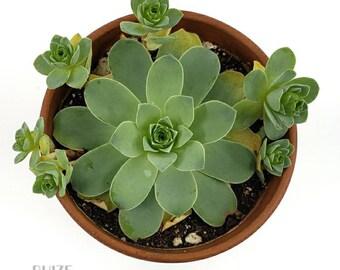 LIVE PLANT: Greenovia dodrantalis, Aeonium dodrantale, Mountain Rose Succulent