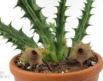 LIVE PLANT: Huernia thuretii, Flowering Carrion Succulent, Cuttings