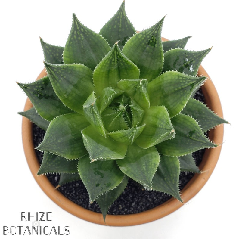 Succulent Haworthia planifolia LIVE PLANT