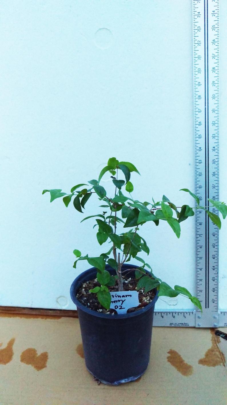 Cereza de Cayena Brazilian Cherry Pitanga Surinam Cherry Euginia Uniflora 02