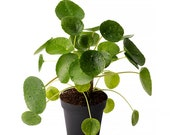 Pilea Peperomiodes Chinese Money Live Plant, 4 quot Pot, Indoor Air Purifier