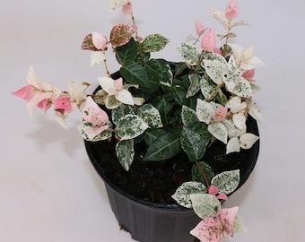 "Jasmine Snow N Summer, 6"" Pot, Stunning Outdoor/Indoor Vining Houseplant!"