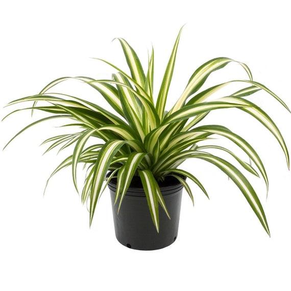 Spider Plant, 6
