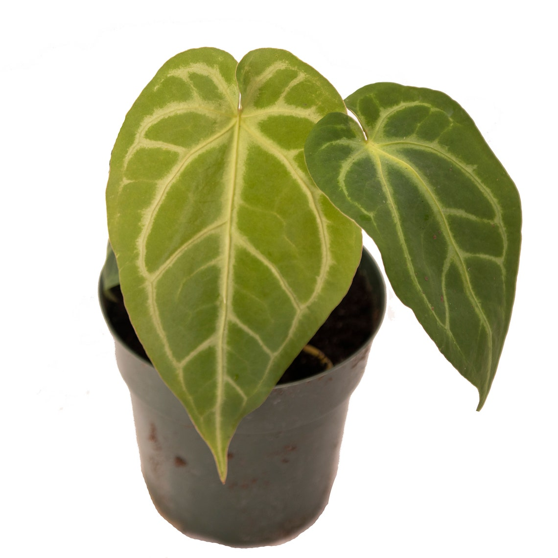 Anthurium Magnificum 6 Pot Live Plant Rare and Exotic image 5