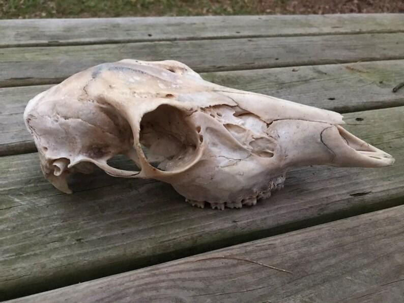 Real Whitetail Doe Skull