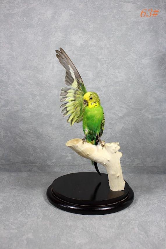 Taxidermy bird spread wing Leiothrix mounted in glass dome handmade birthday graduates XMAS gift free shipping to worldwide