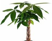 Money Tree Pachira aquatica Pachira Braid Lucky Tree Home Decoration House Plant Bonsai Holiday Gift 6 Pot Sophisticated 5-trunk Braid
