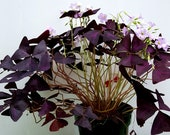 Purple and Green Shamrocks Oxalis Triangularis Lucky Plants Love Plant Wood Sorrel House Plants Five Freshly Isolated Corms Each Color