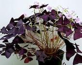 Purple Shamrocks Oxalis Triangularis Lucky Plant Love Plant Wood Sorrel House Plant Ground Cover Three Freshly Isolated Corms (Bulbs)
