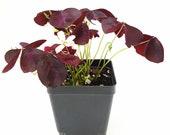 Purple Shamrocks Oxalis Triangularis Lucky Plant Love Plant Wood Sorrel - House Plant Home Decoration Ground Cover - 4 quot Pot