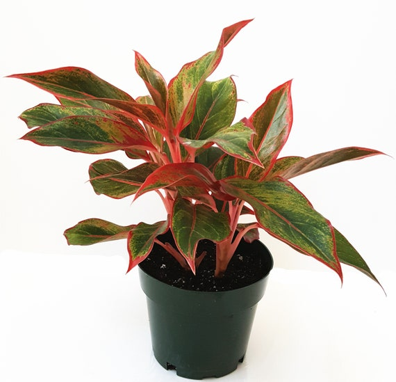 Three Red Aglaonema Plants/Red Chinese Evergreen 'Siam' Plants – on red camellia, red variegated plants, red aster, red pineapple, red narcissus, red anthurium, red zebra plant, red wandering jew, red house plants, red crotons, red gerbera, red tropical plants names, red flowering plants, red peace lily, red fittonia, red angelonia, red photinia, red anemone, red acacia, red allamanda,