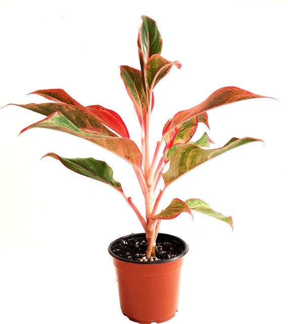 Red Aglaonema/Red Chinese Evergreen 'Siam' Plants – House Plants/Home on red camellia, red variegated plants, red aster, red pineapple, red narcissus, red anthurium, red zebra plant, red wandering jew, red house plants, red crotons, red gerbera, red tropical plants names, red flowering plants, red peace lily, red fittonia, red angelonia, red photinia, red anemone, red acacia, red allamanda,