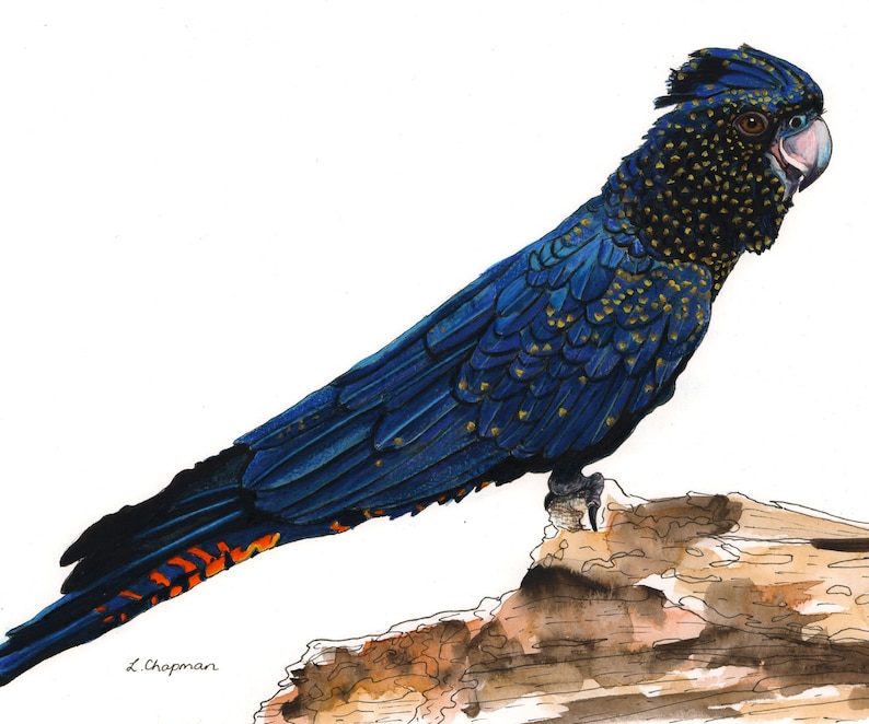 Red tailed black cockatoo watercolour painting original image 0