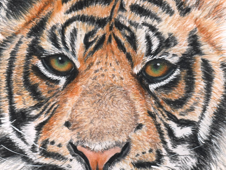 Tiger coloured pencil drawing image 0