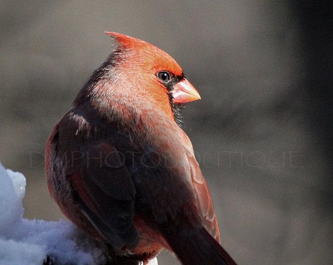 Cardinal Print, Cardinal Canvas, Cardinal Photo, Cardinal Decor, Cardinal Wall Decor, Cardinal Wall Art, Cardinal, Bird Print, Bird Decor